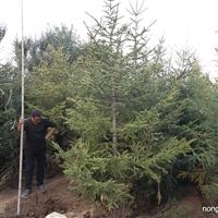 热销山东2米云杉2.5米3米3.5米4米5米云杉价格产地