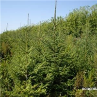 内蒙云杉价格产地 2米3.5米4米云杉价格