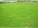 湖南郴州马尼拉草坪