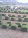湖南郴州马尼拉草皮