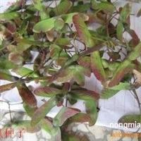红枫种子、红枫种子价格、红枫种子批发