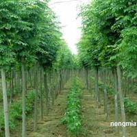 批发黄山栾树、2公分至10公分