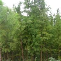 供应池杉,水杉,落羽杉