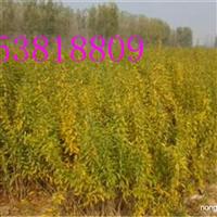 泰山红石榴苗价格-软籽石榴苗批发