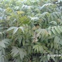全国较大红油香椿苗批发种植基地