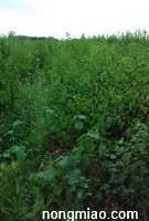保定曲阳苗木种植基地供应 丁香 榆叶梅 黄栌