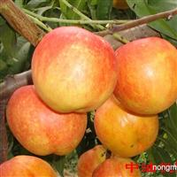 桃树苗价格