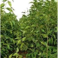 1-3公分朴树【大叶小叶】