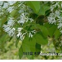 流苏树种子 木瓜种子 海棠 流苏种子 油根种子 山茱萸种子