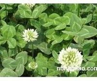白三叶种子 紫花地丁种子 剪股颍种子 四季青种子 马尼拉种子