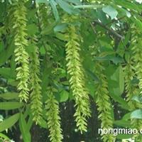 枫杨种子 枰柳、麻柳 水麻柳 小叶罗汉松种子 罗汉松种子