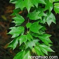 三角枫种子 三角槭 金银花种子 香椿种子 红油香椿种子