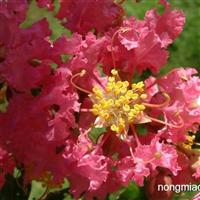 紫薇种子 痒痒树、百日红 滇润楠种子 棕榈种子 鸢尾种子