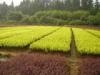 供应绿化小苗、苗床小苗、扦插小苗、播种小苗