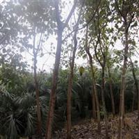 成都菩提树供应工程乔木 成都菩提树 工程苗木