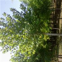 法桐种植基地法桐市场河北法桐市场法桐产地河北法桐产地