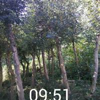 荆门三角枫移栽苗/京山三角枫骨架苗/湖北三角枫下山苗产地