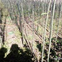 出售:垂暴109柳树1.2~1.7公分