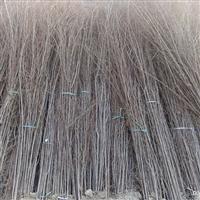 出售榆树苗,1--8公分榆树