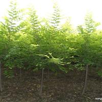 大量销售3--6公分榆树金叶榆高接金叶榆金叶垂榆