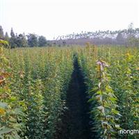 三角枫苗出售安徽合肥
