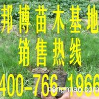 供应营养袋樟子松,营养钵樟子松