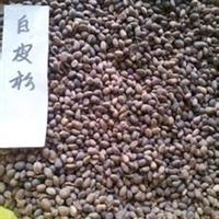 白优质松种子  白皮松种子价格