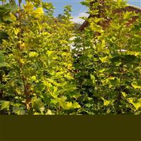 普林斯顿黄金枫 挪威黄金枫 辽宁金顺彩叶良种繁育基地