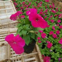 供应青州草花