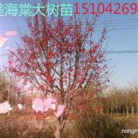 北美海棠小苗  夏天海棠  15104265669