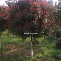 红叶石楠树 红叶石楠球 红叶石楠价格