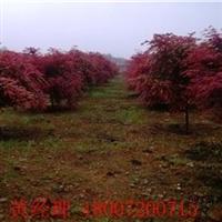 红枫苗圃 红枫价格 红枫批发