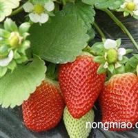 甜查理草莓苗 丰香草莓苗价格 章姬草莓苗哪里有