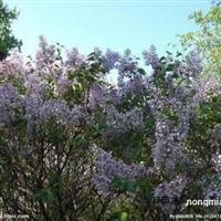 天赐苗木花卉供应价位合理的丁香 丁香基地
