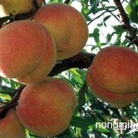 山东泰安桃树苗价格提示桃树苗徒长性结果枝如何修剪