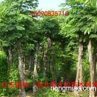 湖北朴树、湖北全冠朴树、湖北骨架/截杆朴树、湖北朴树价格