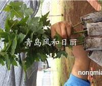 供应美国红枫扦插小苗