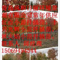 销售美国红点红枫扦插苗