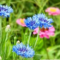 矢车菊种子价格怎么育苗播种