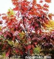 美国红枫,欧洲红烁,美国蓝杉,日本厚朴