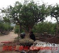 供应山东石榴树