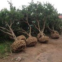 供应20公分石榴树、山东石榴树