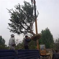供应枣庄石榴树