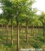 安徽合肥(肥西)朴树