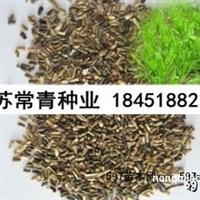 菊苣种子批发,菊苣种子价格