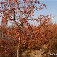 出售印第安魔力海棠苗,亚当海棠苗,1高原之火海棠