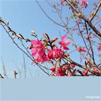 福建山樱花,山樱花批发,大红樱花苗,山樱花价格