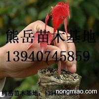辽宁美国红枫扦插苗