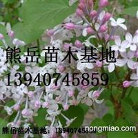 辽宁紫丁香绿化苗