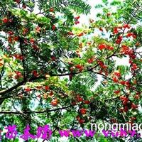 南方红豆杉   武新苗木场